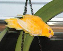 Lineolated Parrot: ino