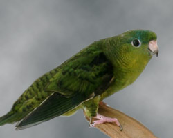 Lineolated Parrot: dark(sf)