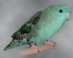Lineolated Parrot: turquoise(parblue)