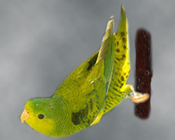 Lineolated Parrot: dilute