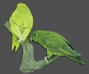 Lineolated Parrot: From left:<br>dom.dilute(edged)(df), <br>dom.dilute(edged)(sf)
