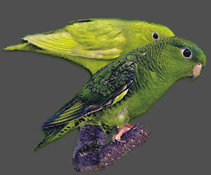 Lineolated Parrot: From left:<br>Combination of: dark(sf), dom.dilute(edged)(df), <br>Combination of: dark(sf), dom.dilute(edged)(sf)