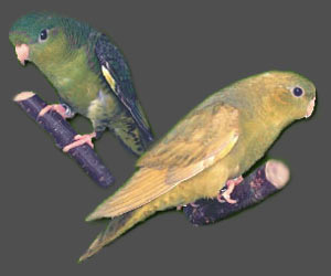 Lineolated Parrot: From left:<br>Combination of: dark(df), dom.dilute(edged)(sf), <br>Combination of: dark(df), dom.dilute(edged)(df)