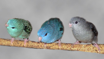 Lineolated Parrot: From left:<br>turquoise(parblue), <br>Combination of: turquoise(parblue), dark(sf), <br>Combination of: turquoise(parblue), dark(df)