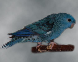 Lineolated Parrot: Combination of: dark(sf), turquoise(parblue)