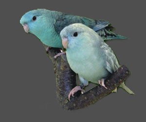 Lineolated Parrot: From left:<br>Combination of: turquoise(parblue), dom.dilute(edged)(sf), <br>Combination of: turquoise(parblue), dom.dilute(edged)(df)