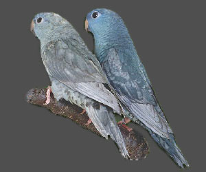 Lineolated Parrot: From left:<br>Combination of: dark(sf), turquoise(parblue), dom.dilute(edged)(df), <br>Combination of: dark(sf), turquoise(parblue), dom.dilute(edged)(sf)